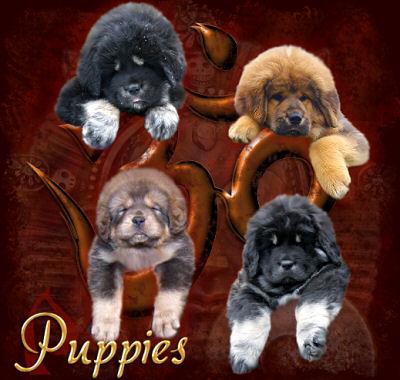 Shanti Soul Tibetan Mastiffs :~: Tibetan Mastiff Breeder Australia